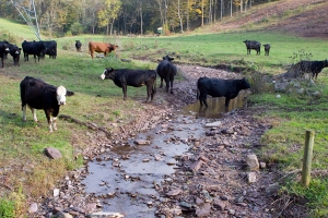 Cattle in Streams (WolfeNotes.com).docx