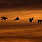 sandhill-cranes-kathy-admire